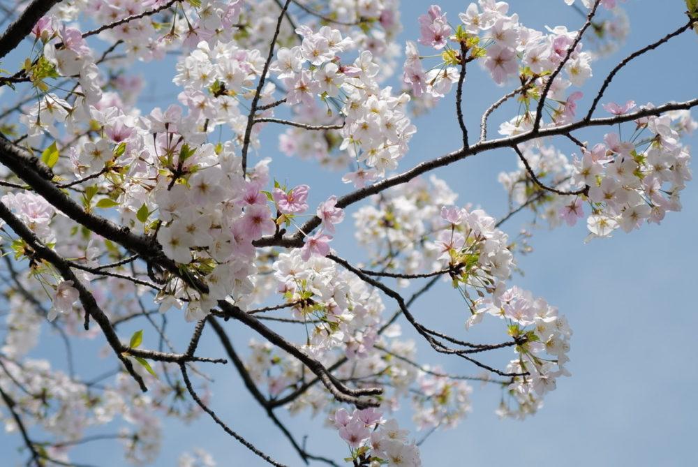 掃部山公園 桜 20200322