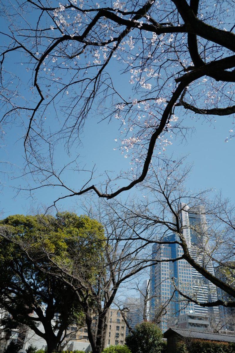 掃部山公園と桜とクイーンズタワー