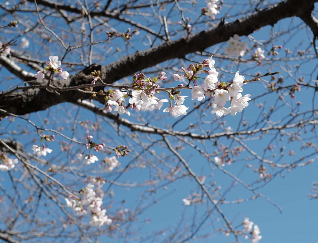 桜 咲き始め 掃部山公園