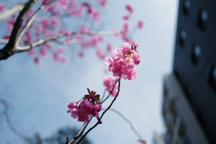 20200322-掃部山公園で見つけた桜