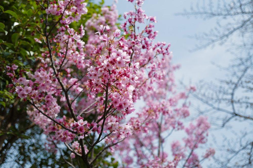 掃部山公園 桜 ピンク 0322