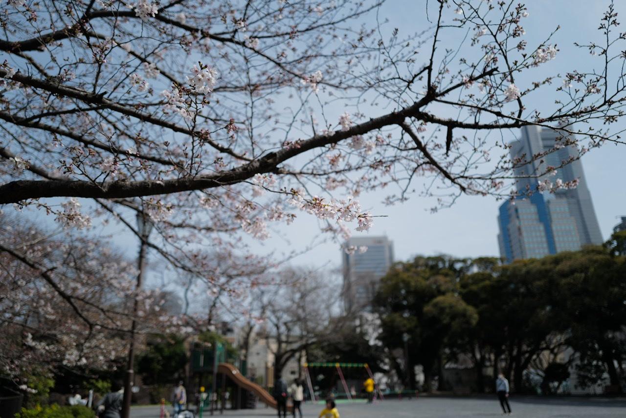 掃部山公園 桜 0322 咲き始め