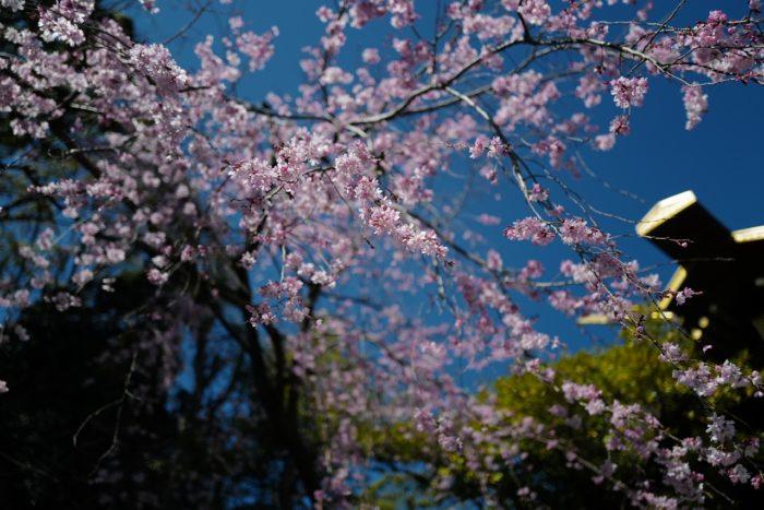 伊勢山皇大神宮 桜