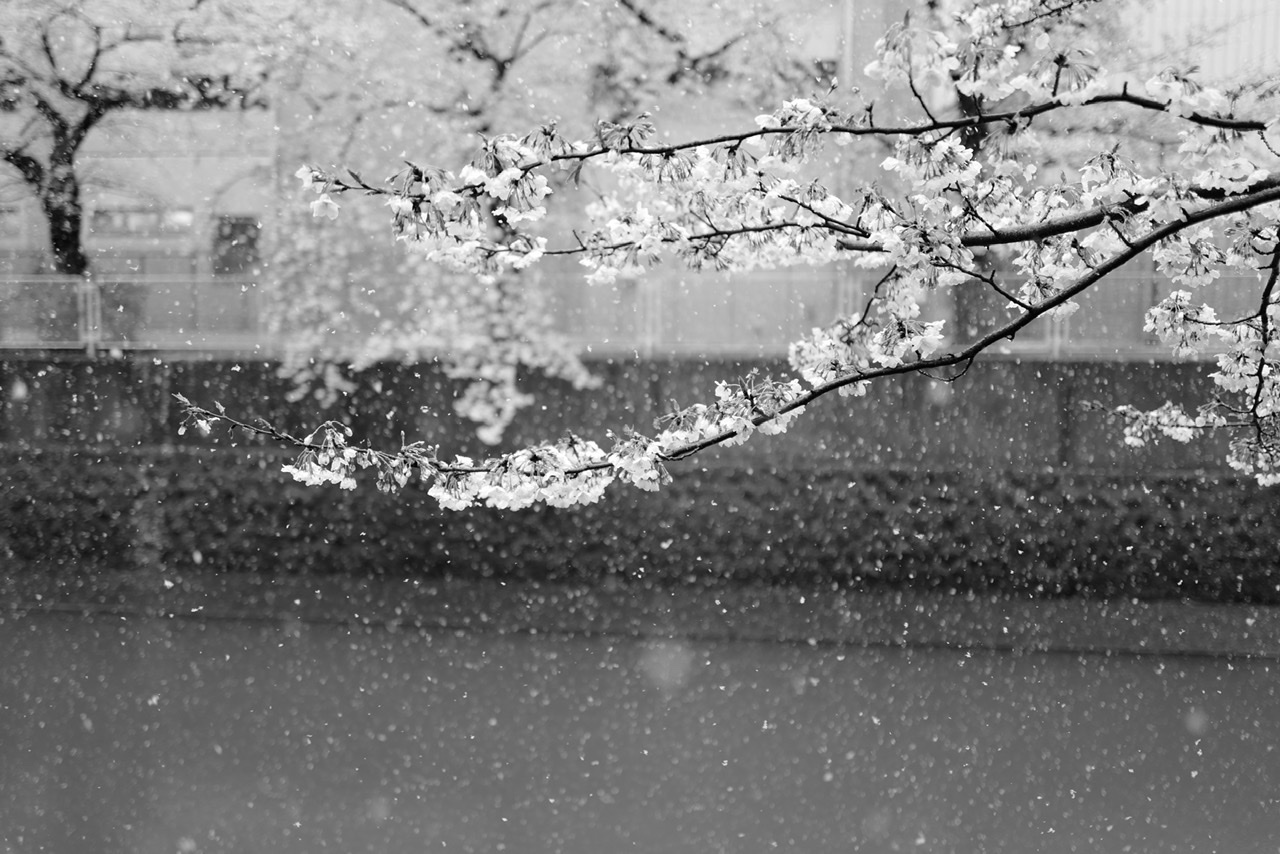 桜とライカQ2と雪