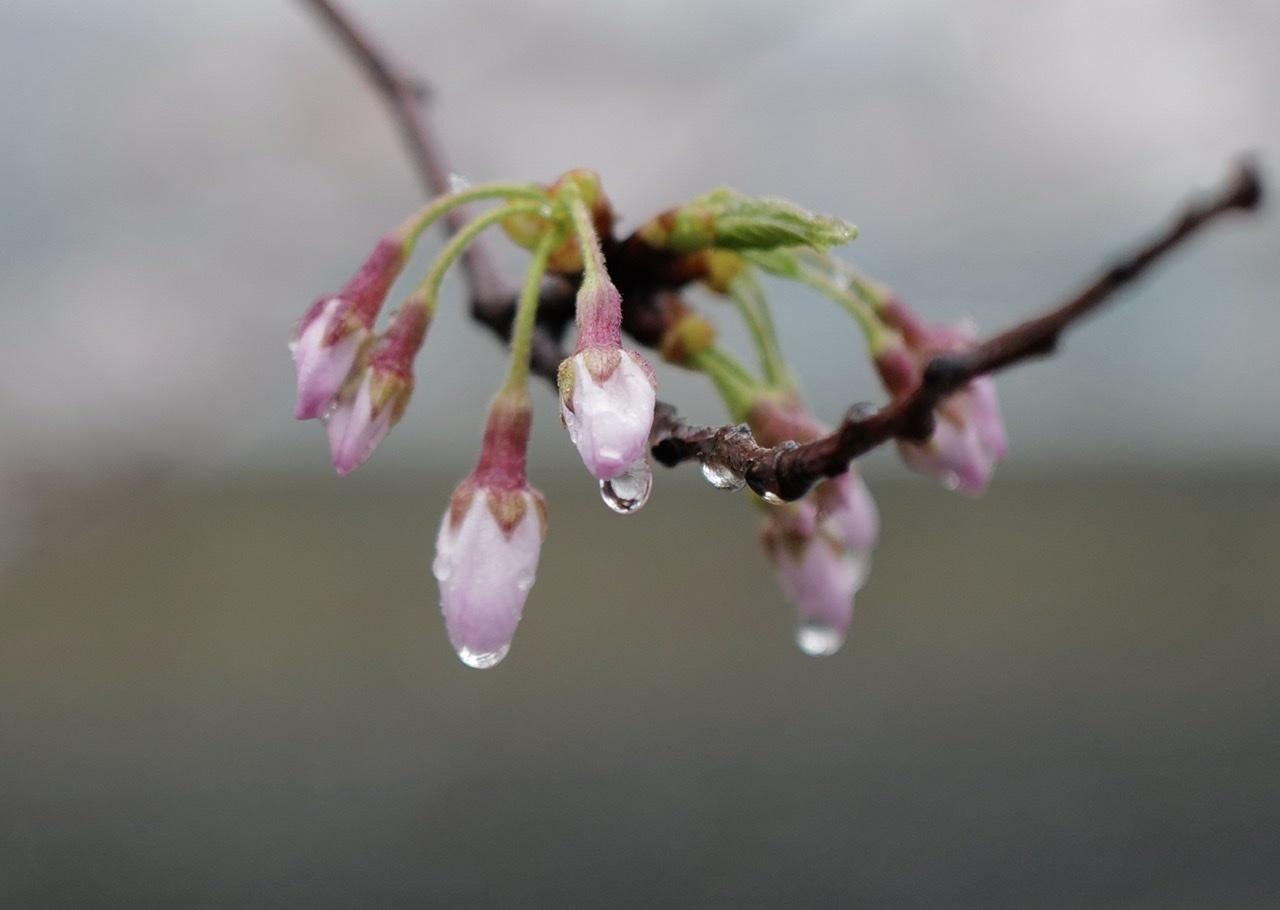 ライカQ2 桜の蕾