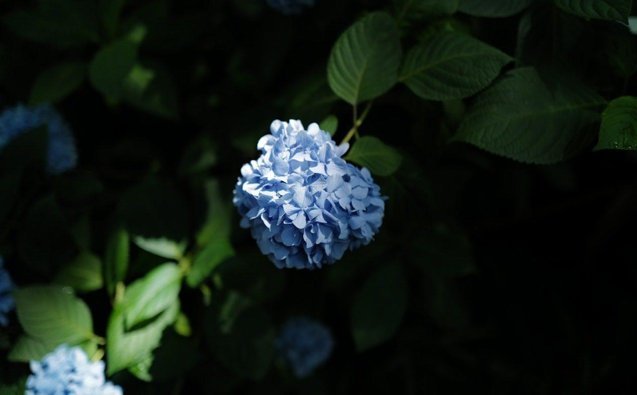 紫陽花 ライカQ2 明月院