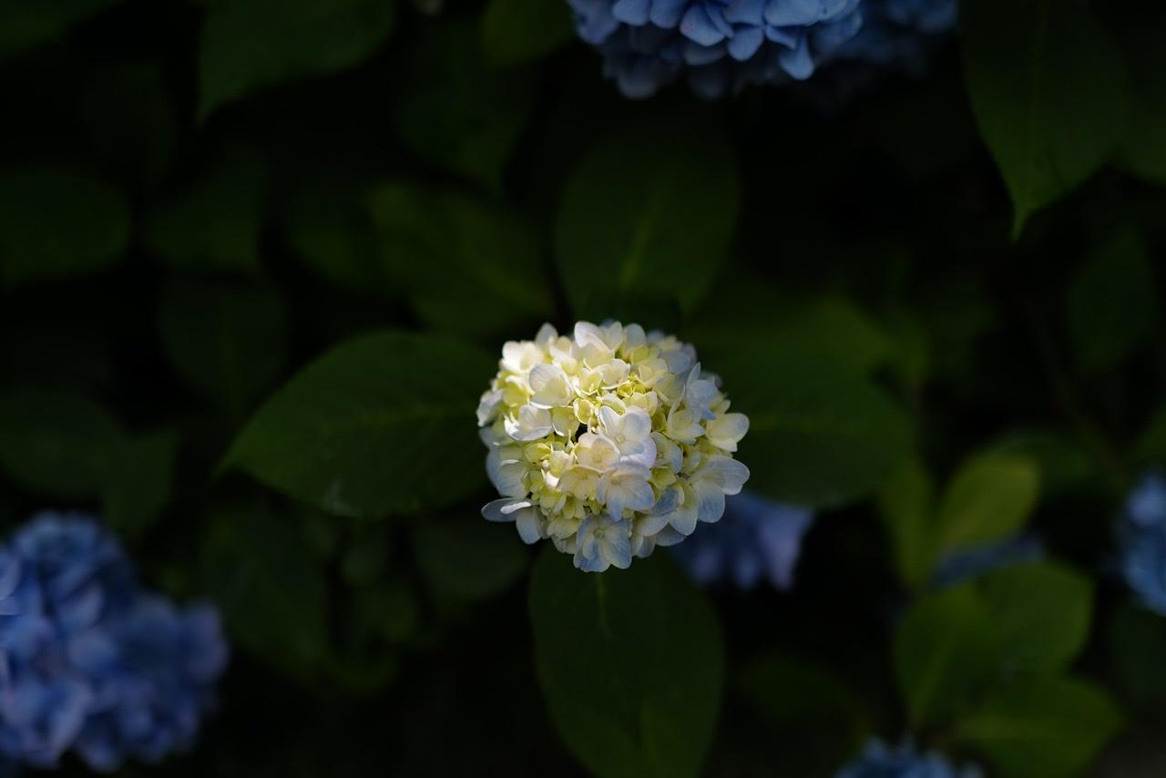 白い紫陽花 明月院