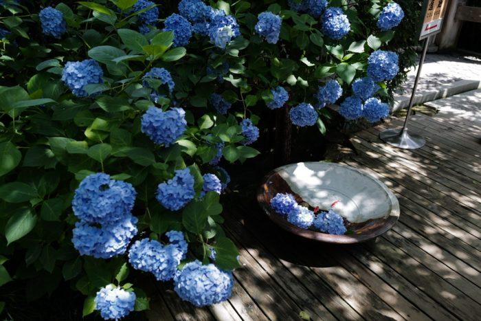 明月院 水と紫陽花