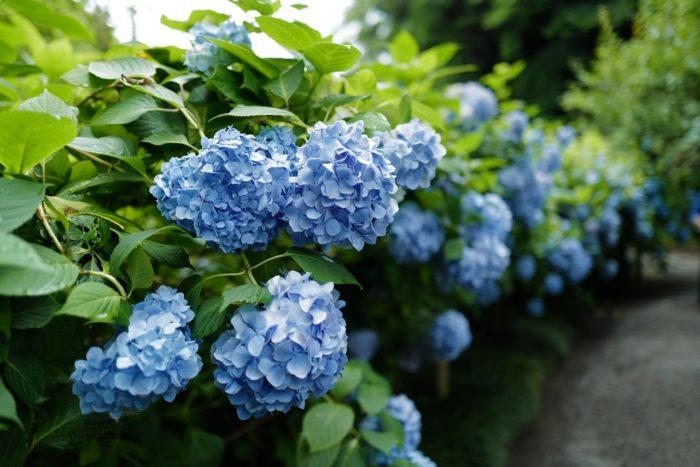 明月院 紫陽花 ブルー