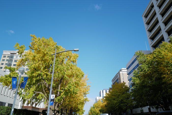 2020.11.22 日本大通りのイチョウ 紅葉