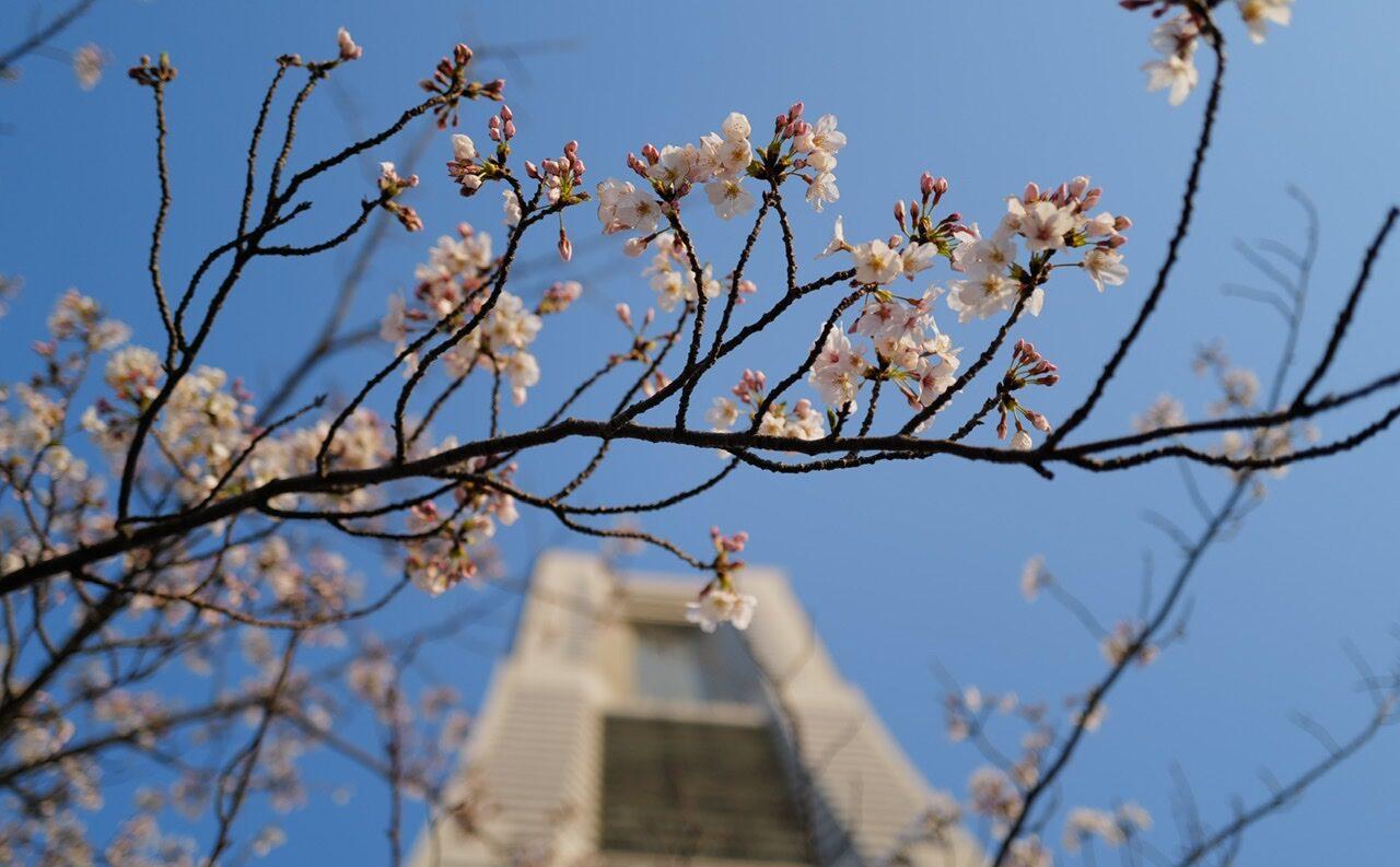 ランドマークタワー みなとみらい 桜