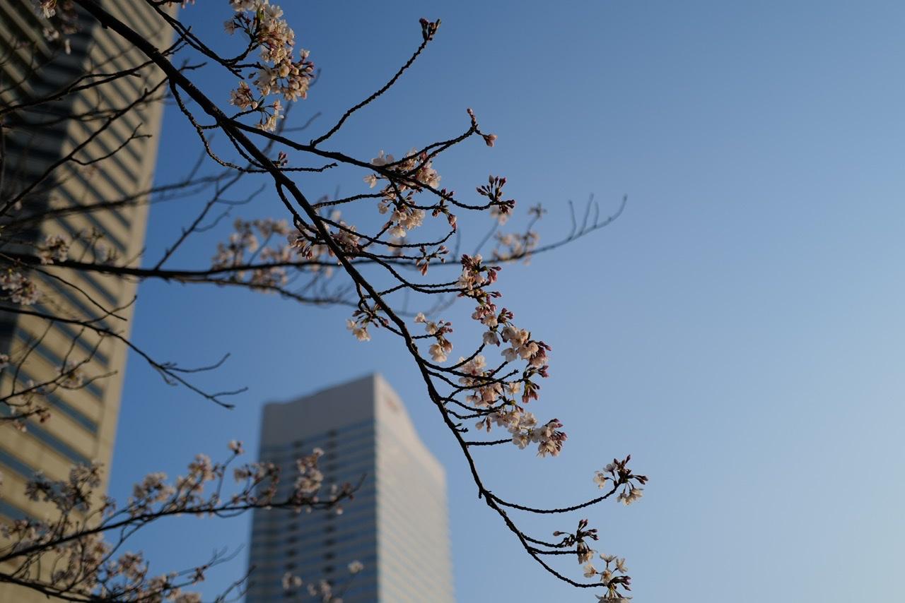 クイーンズタワー 桜 みなとみらい