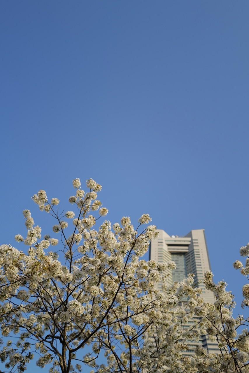 ランドマークタワー 桜 快晴