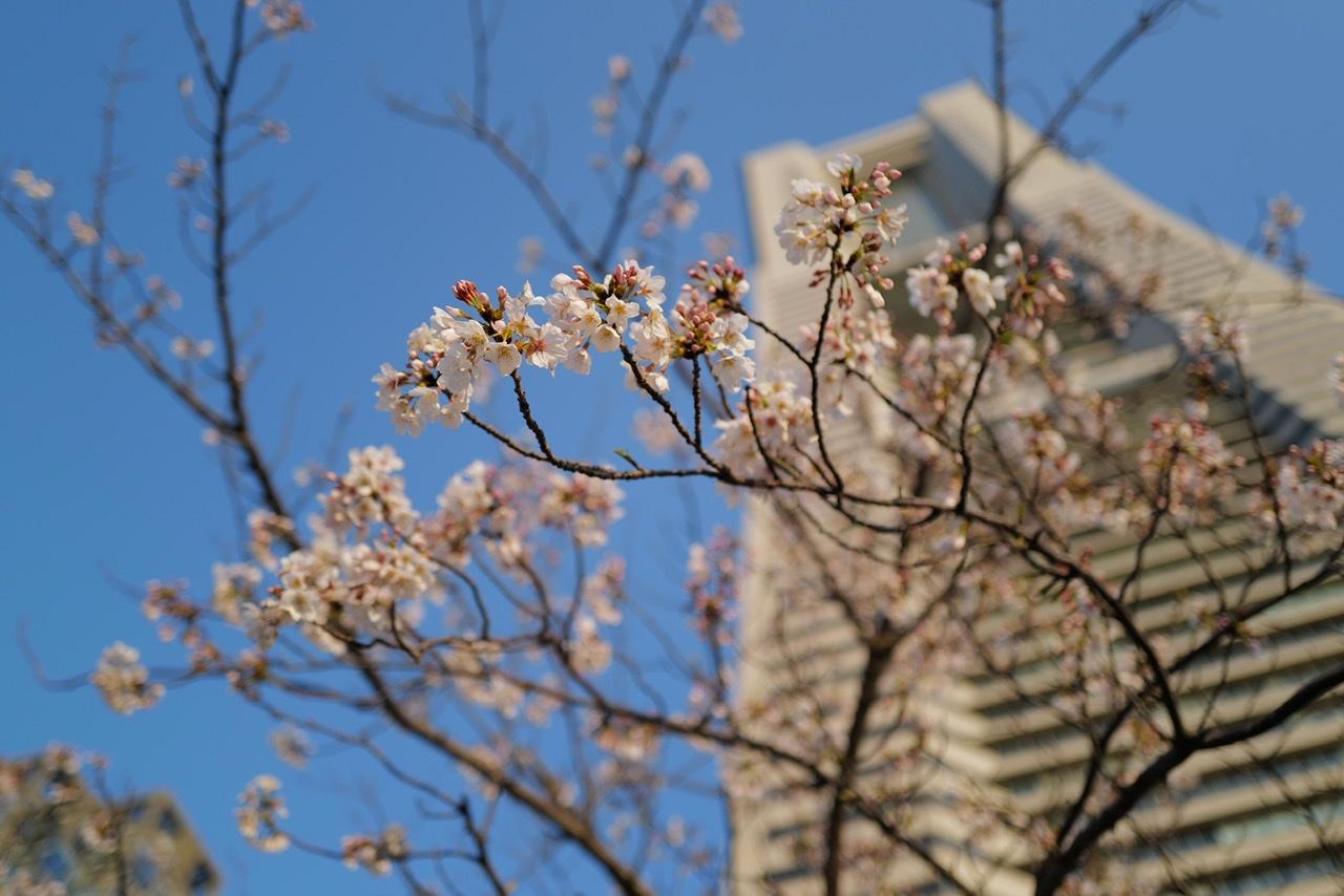 みなとみらい 桜 ランドマークタワー