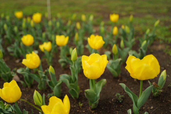 チューリップ 黄色